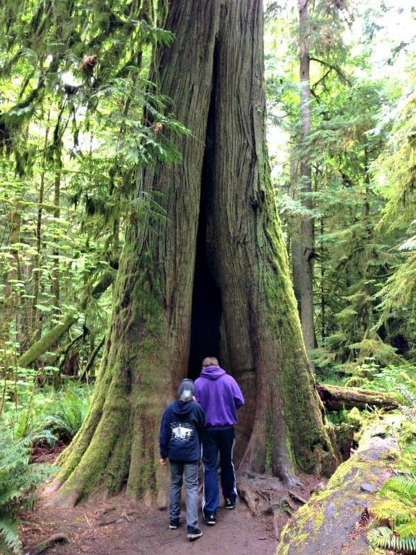 boys exploring tree in cathedral grove