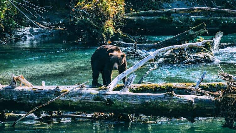grizzly bear looking for salmon in tobacco inlet bc