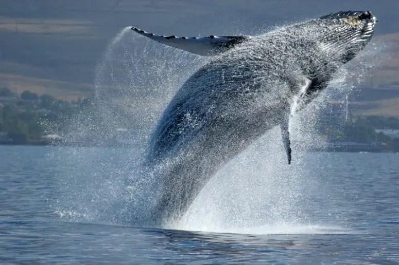 Humpback Whale breaching off Maui Coast (Credit: iStock)