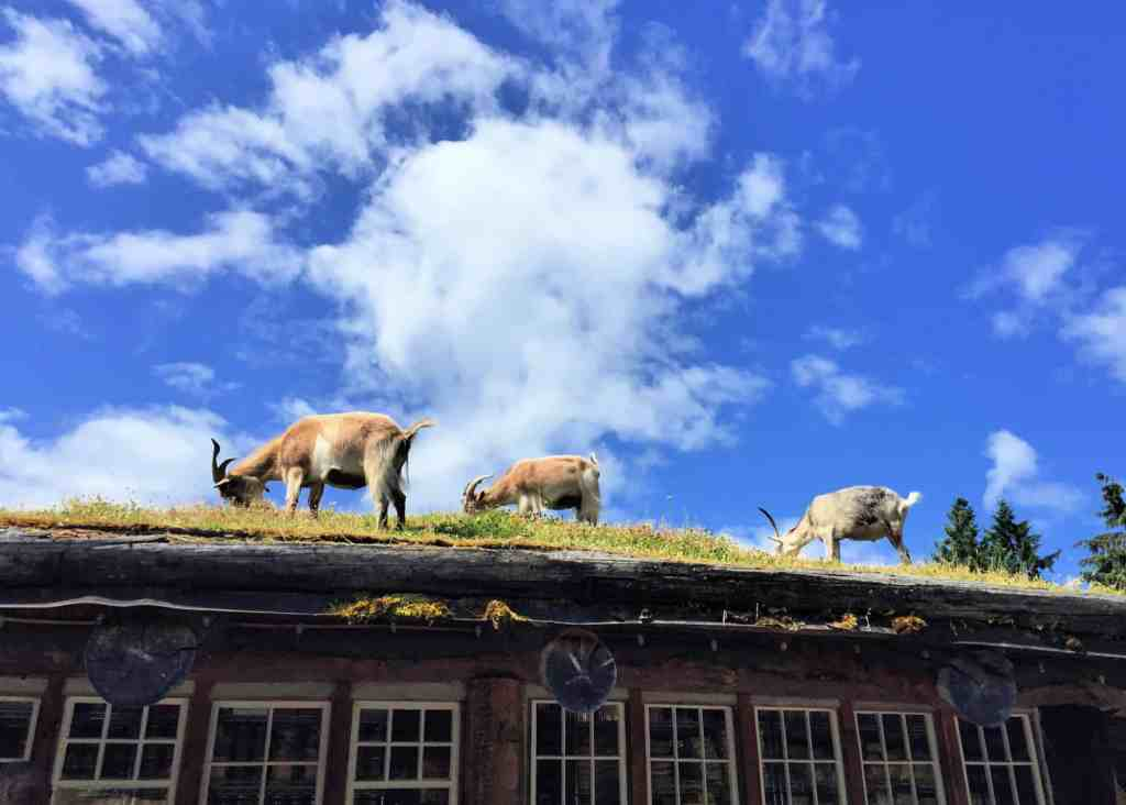 three goats eating grass on roof in coombs near parksville
