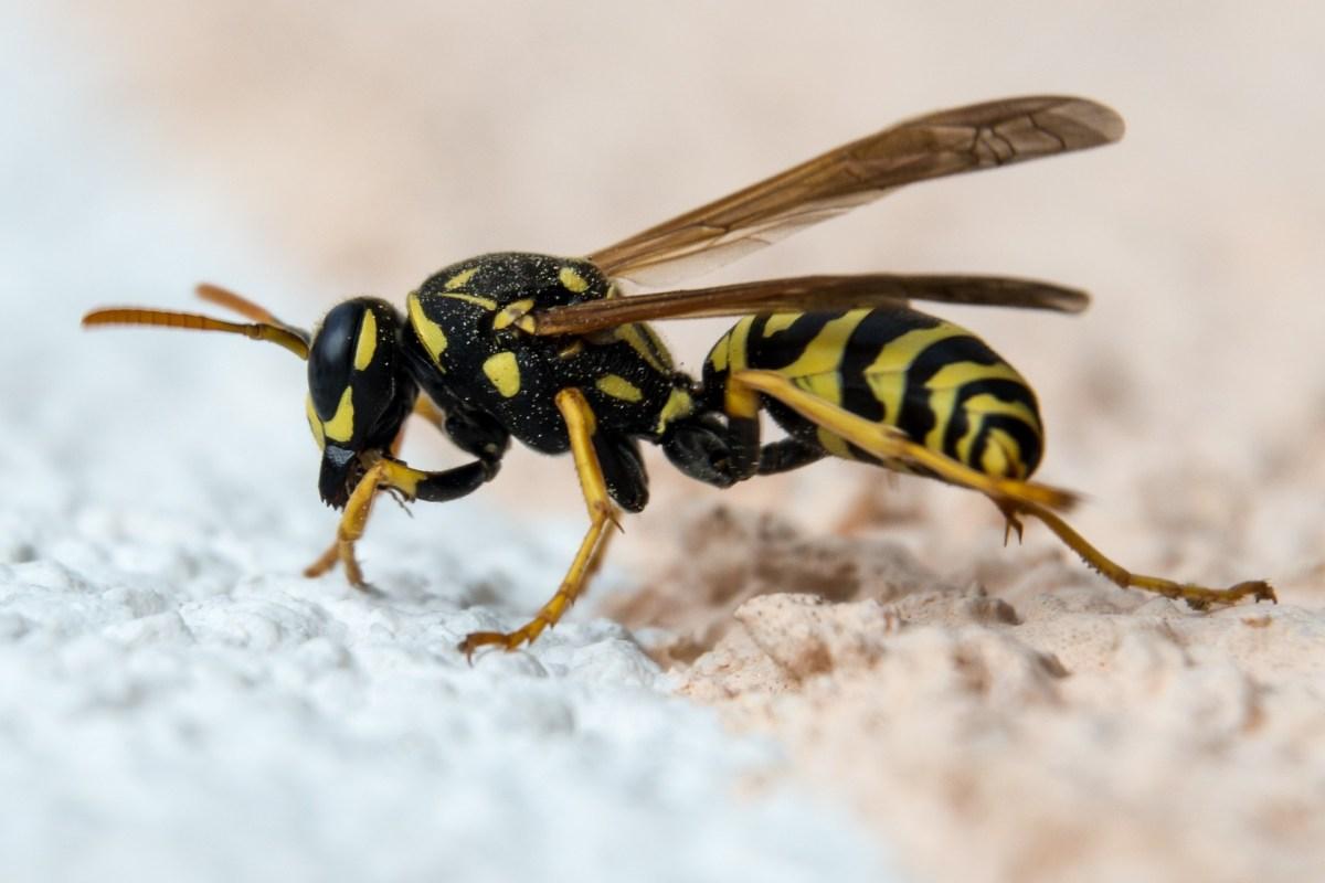 Wespenstich mit ätherischen Ölen lindern