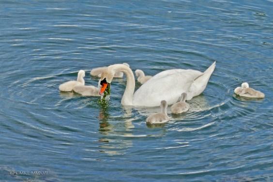 Saintes.Swans.2017.05-1220932