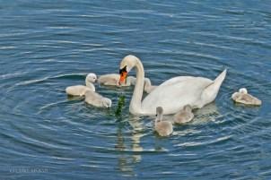 Saintes.Swans.2017.06-1220933