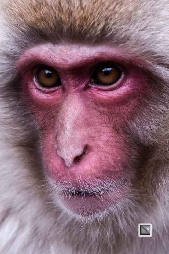 japan-jigokudani-snow_monkeys-124