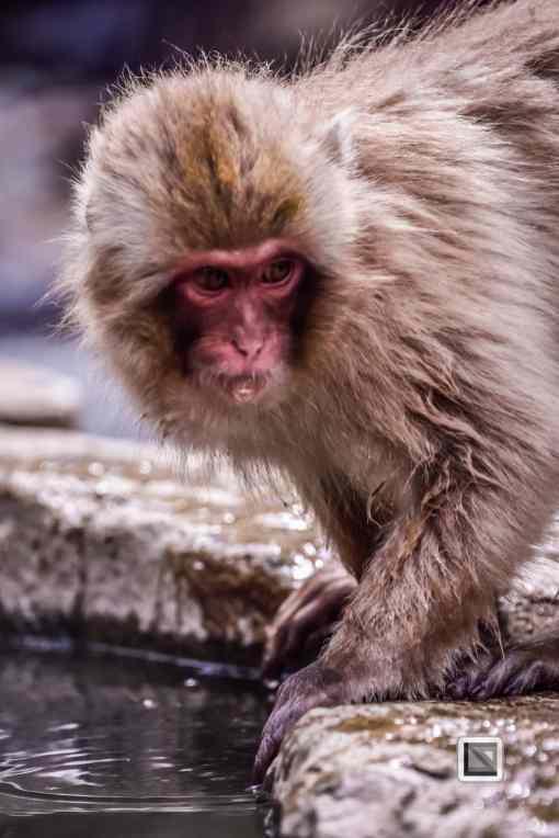 japan-jigokudani-snow_monkeys-42