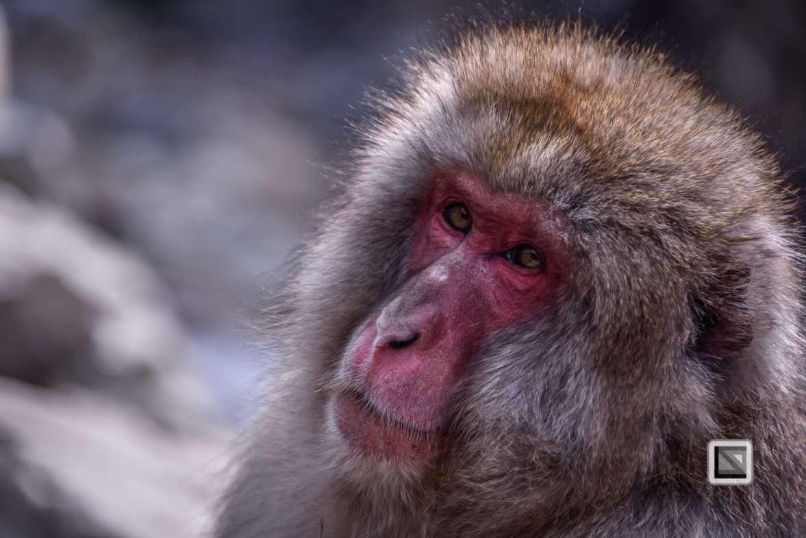 japan-jigokudani-snow_monkeys-74