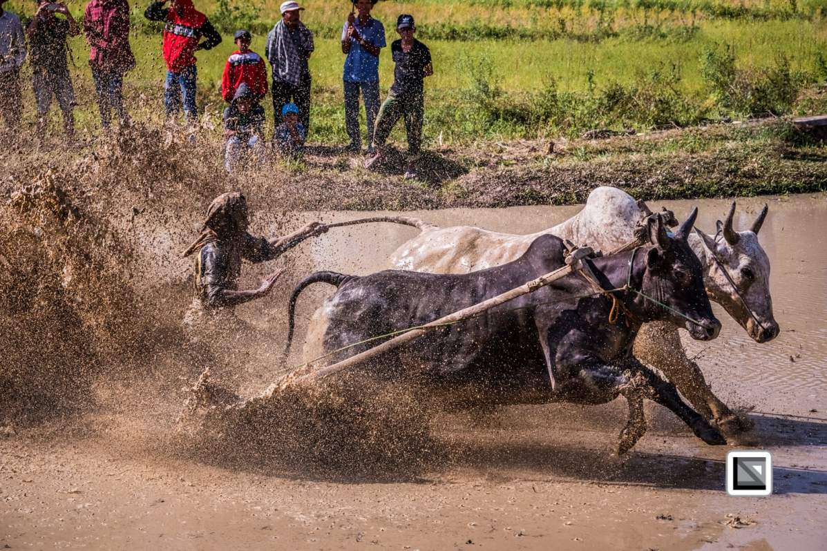 Pacu Jawi traditional bull race in Sumatra, Indonesia