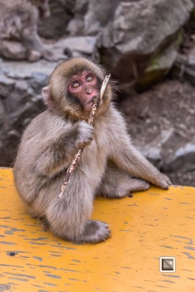 japan-jigokudani-snow_monkeys-148