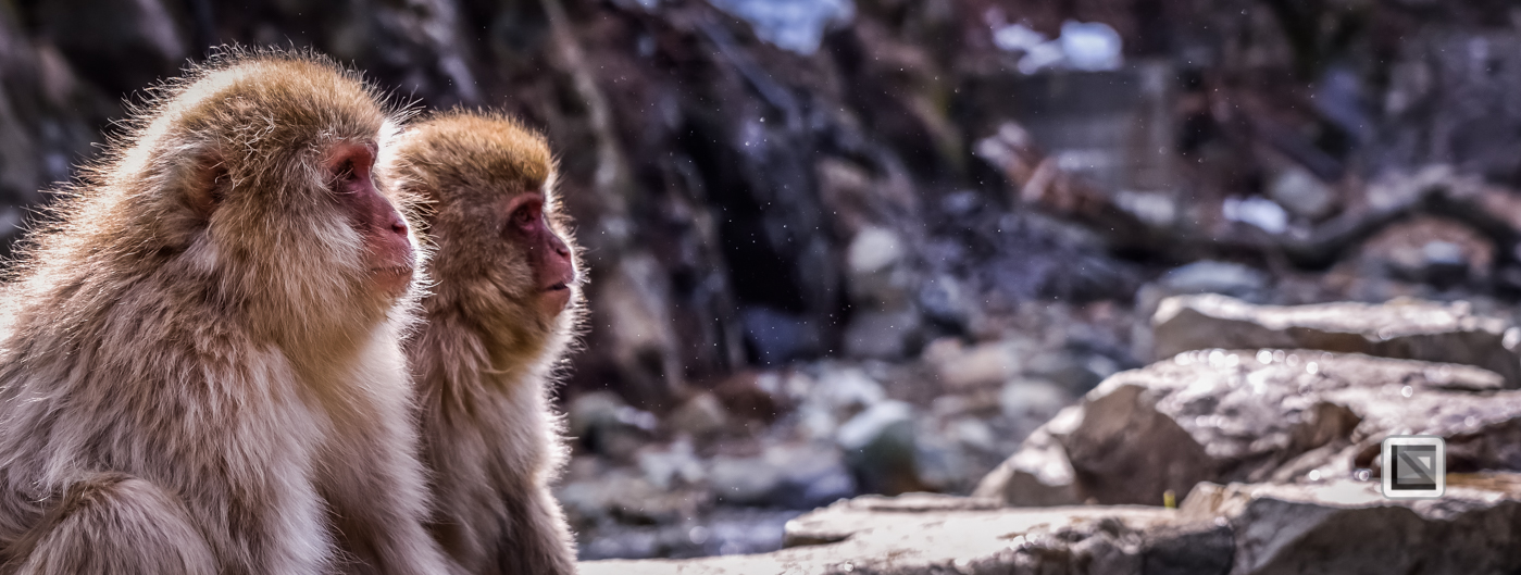 japan-jigokudani-snow_monkeys-35