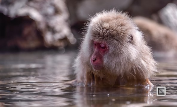 japan-jigokudani-snow_monkeys-54
