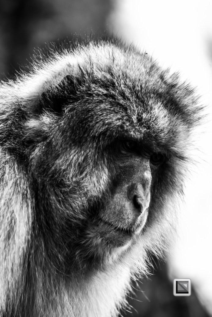 japan-jigokudani-snow_monkeys-78