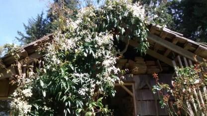 Blooming clematis armandii...