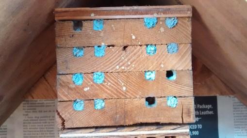 Mason bee holes sealed with clay...