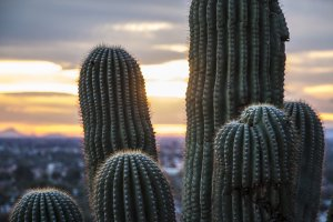 saguaro cactus in foreground with Tucson Valley in background