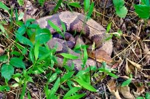 Appalachian Trail copperhead
