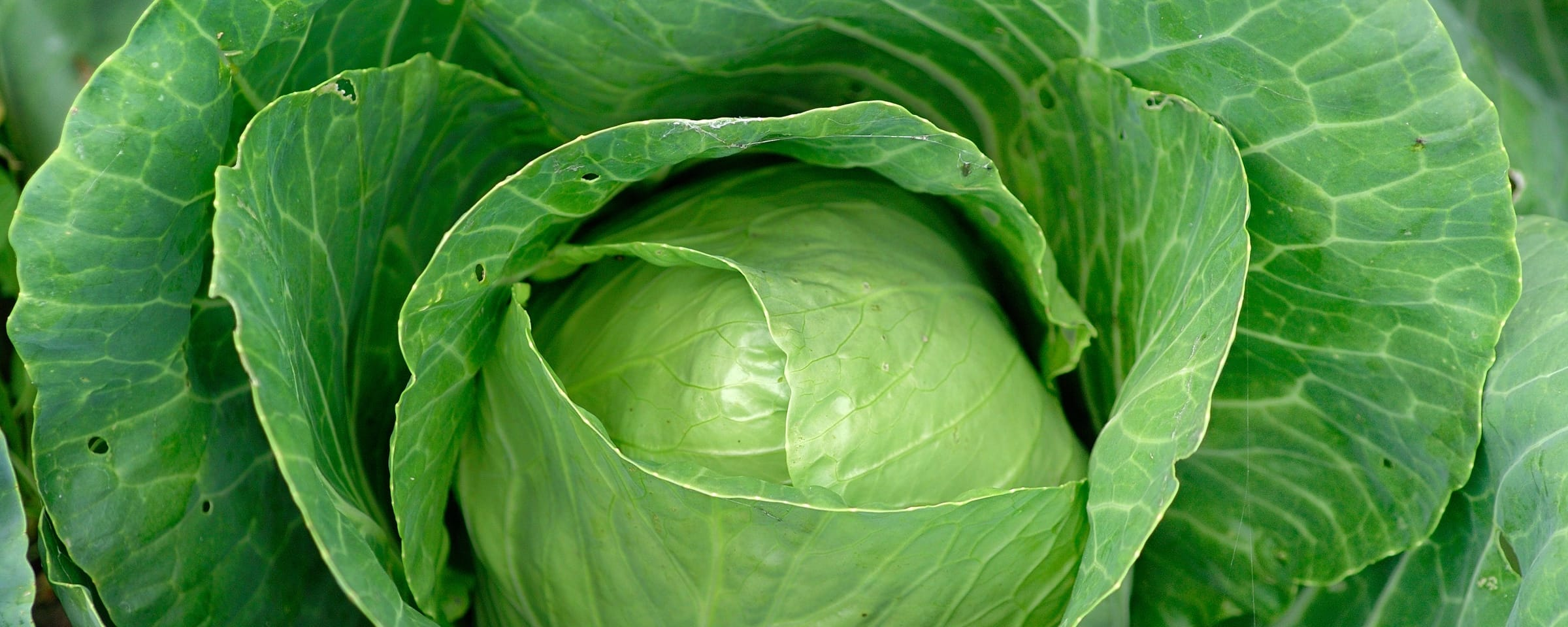 Cabbage Field Vegetable