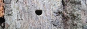 sign of emerald ash borer