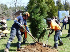 The planting of a native white pine