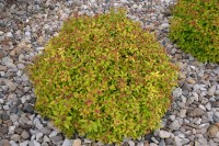 Magic Carpet Spirea Has Lime Green Foliage and Pink Flowers.