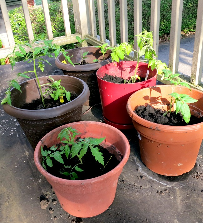 Pot Garden - Tomatoes and Peppers