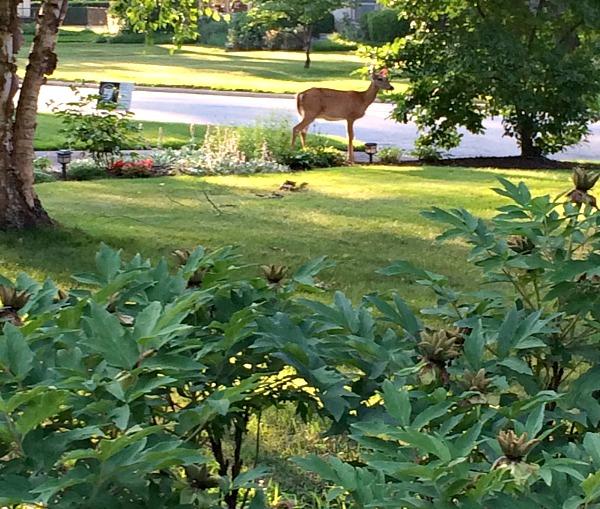 Esmerelda the Deer