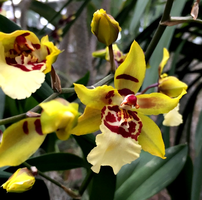 Orchid Mania 2016 H