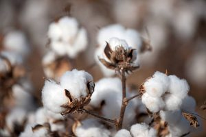 Keep A Close Eye On Cotton Prices