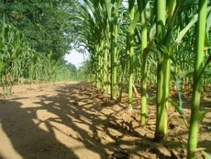 Corn Prices Hit A 5 Week High