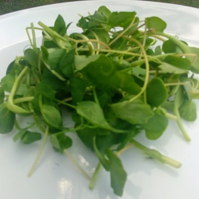 Clean Genes Micro Salad Mix