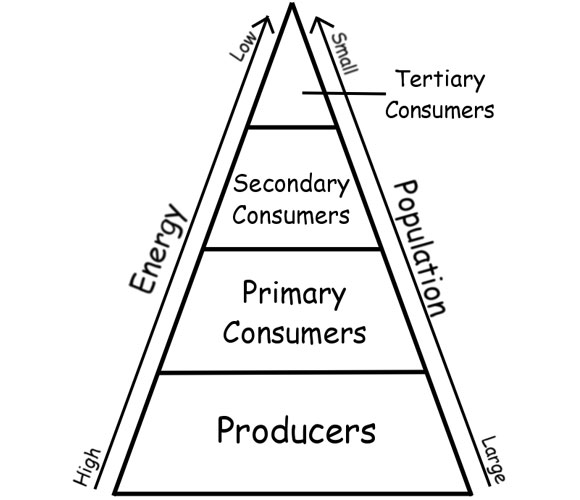 The Energy Pyramid And Trophic Cascades Student Investigations In
