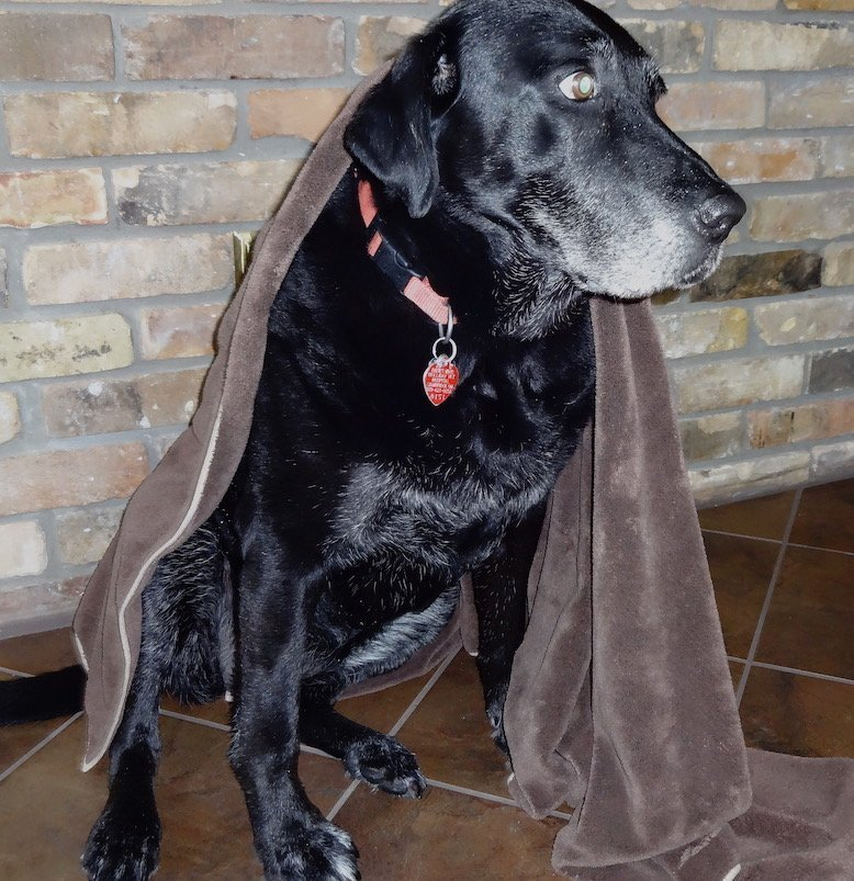 Labrador retriever in large e-cloth pet towel