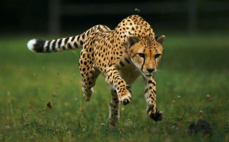 cheetahs like tigers are