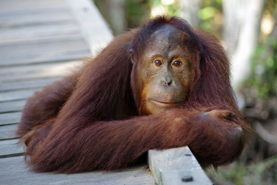 Exotic Animal Wallpaper Killing Orangutans For Their Meat Is An Appalling Crime