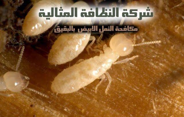 مكافحة النمل الابيض بالبقيق شركة مكافحة النمل الابيض بالبقيق شركة مكافحة النمل الابيض بالبقيق 0531390740 Termite control company Babakiq