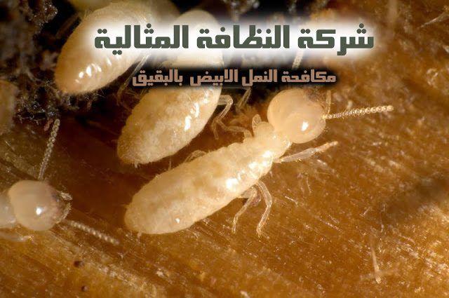 شركة مكافحة النمل الابيض بالبقيق 0503152005