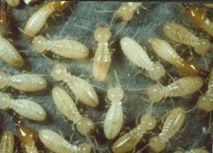 شركة مكافحة النمل الابيض براس تنورة شركة مكافحة النمل الابيض براس تنورة شركة مكافحة النمل الابيض براس تنورة 0531390740 Termite control companys Brass Tanura 300x215