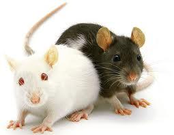 شركة مكافحة الفئران بالاحساء  شركة مكافحة الفئران بالاحساء 0531390740
