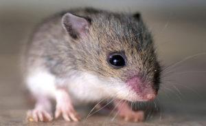 شركة مكافحة الفئران بالدمام شركة مكافحة الفئران بالدمام 0531390740 300x183
