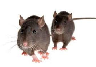 شركة مكافحة الفئران بالدمام..