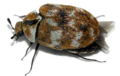 Carpet Beetle Facts