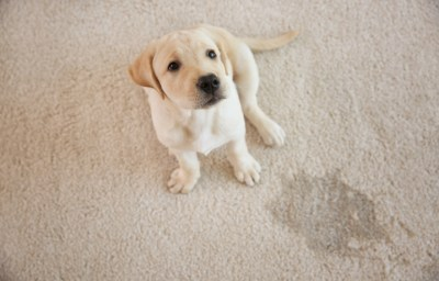 Pet Accidents and Pet Urine