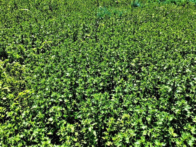 Organic Nettles, dill, Cynthia ShahanAll Rights Reserved
