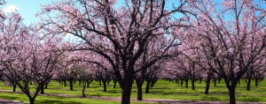 A beautiful almond orchard.