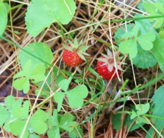 wild strawberries in fruit