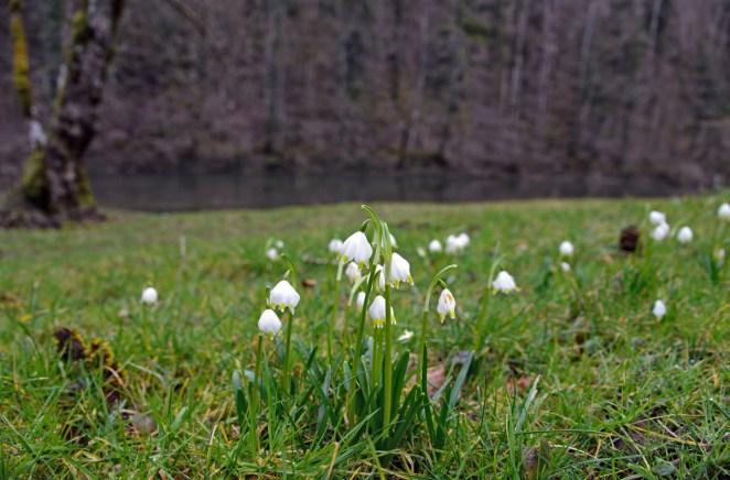 Les perce-neige fleurissent de tous les côtés