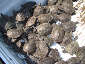 Truckload of terrapins from a runway at JFK Airport.
