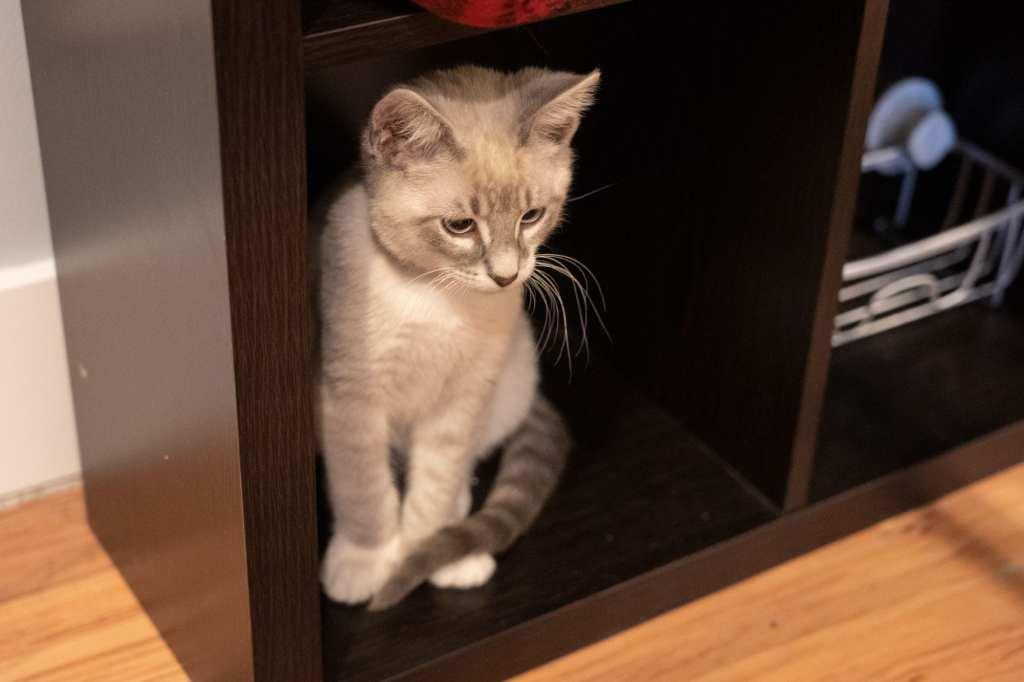 Kitten at AffoGATO cat cafe
