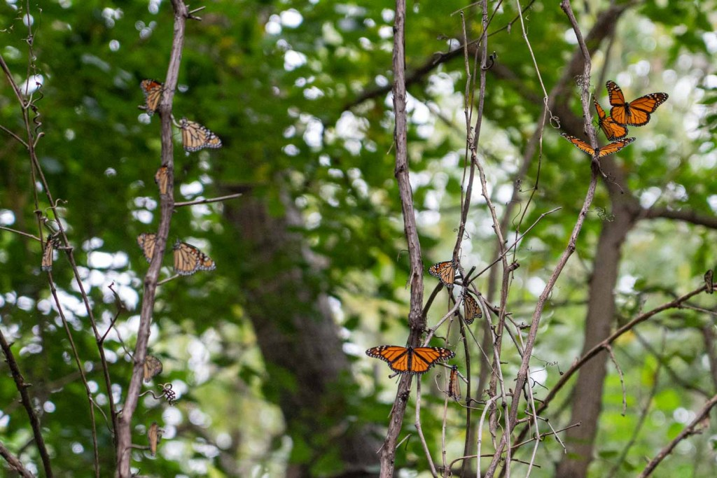 Monarch butterflies at Wendy Park