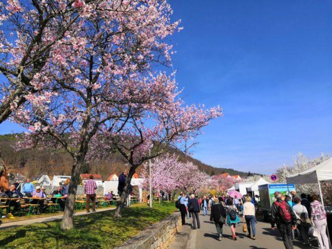Auf zum Mandeblütenfest in Gimmeldingen