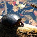 Did you know your child's pet turtle could be illegal in the USA?